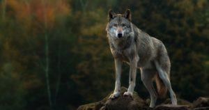 Read more about the article Cosa fare (e non fare) se si dovesse incontrare un lupo?
