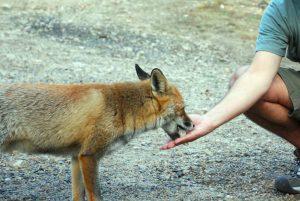 Cibo agli animali selvatici: perché non bisogna darlo